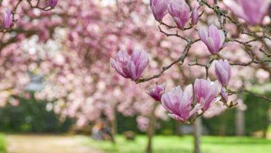 Majestueuse allée de magnolias mauves et blancs