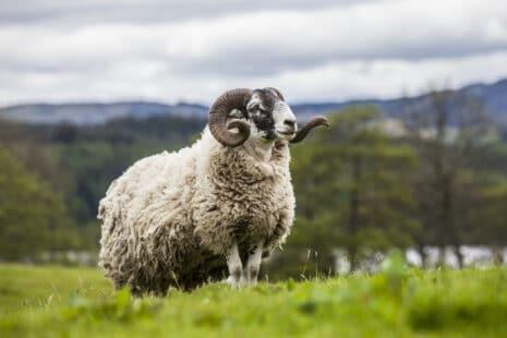 Mouton de profil avec de longues cornes noires