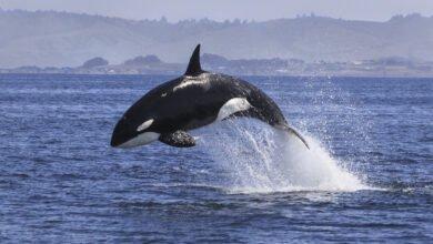Orque sautant au dessus de l'eau