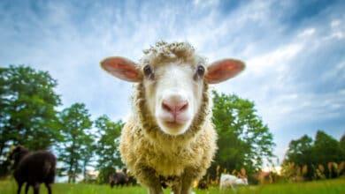 Jeune mouton curieux