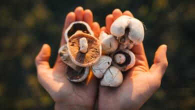 Deux mains dans la lumière tenant des champignons de Paris