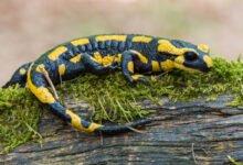 Un salamandre tachetée jaune et noire sur de la mousse sur une branche de bois