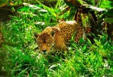Jaguar dans la forêt amazonienne, entouré de hautes herbes vertes