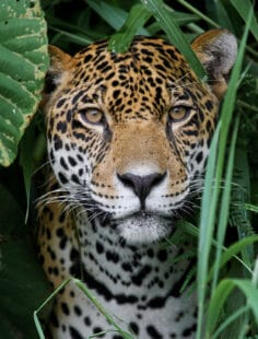 Potrait d'un jaguar encadré d'herbes vertes