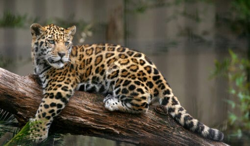 Un jeune jaguar sur un tronc d'arbre